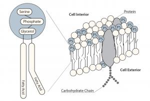 Phosphatidylserine Composition