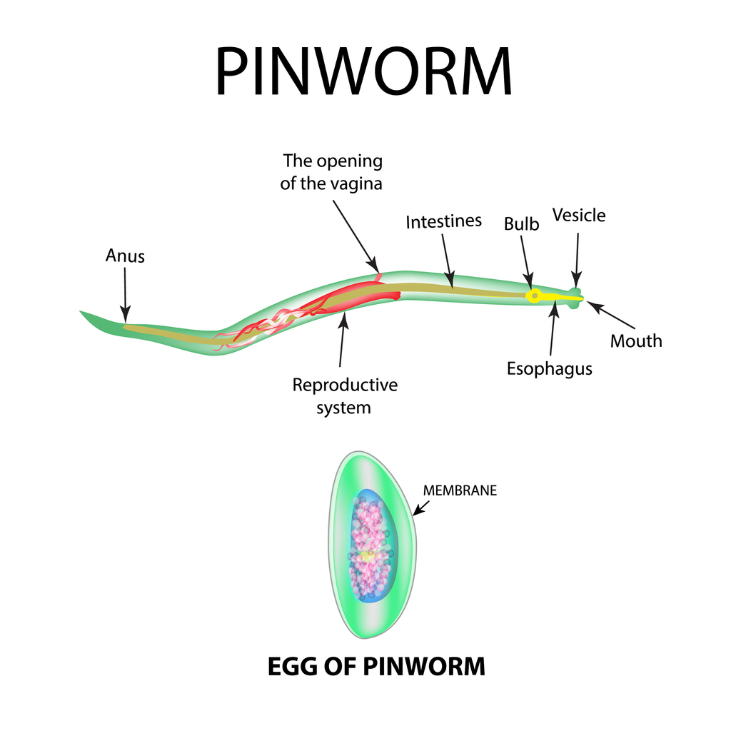 Adult Pinworm and Egg